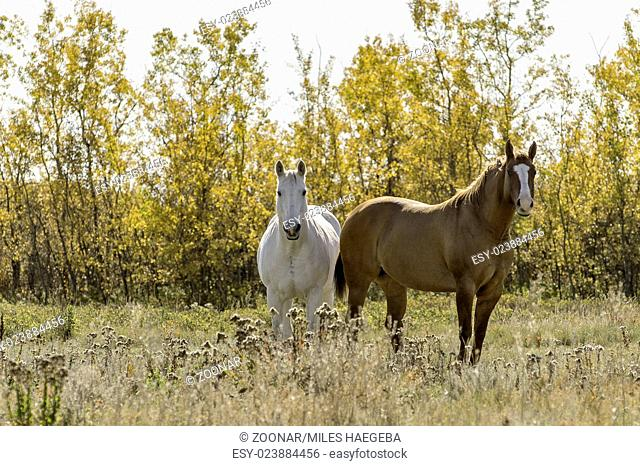 Horses against an Autumn Forest Background