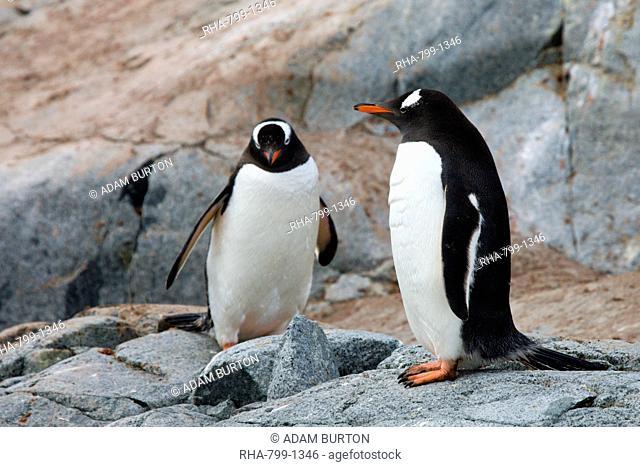 Gentoo penguins on Petermann Island, Argentine Islands, Antarctic Peninsula, Antarctica, Polar Regions
