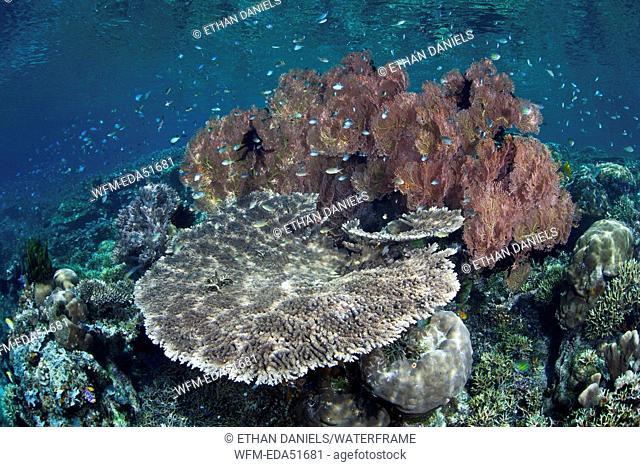 Reef-building Corals on Reef Top, Acropora sp., Misool, West Papua, Indonesia