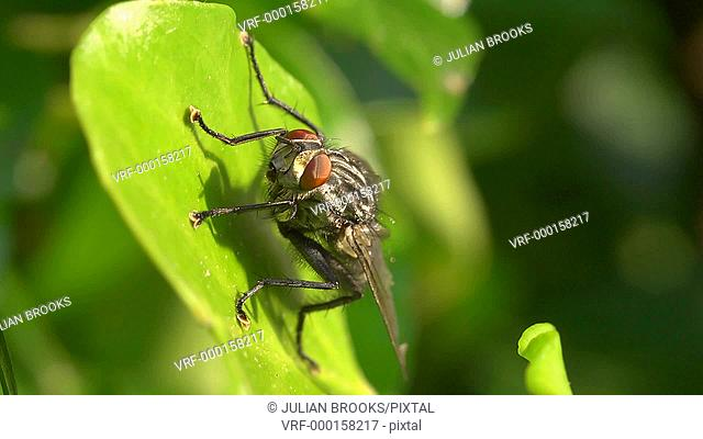 fly on leaf cleaning its legs then flying off