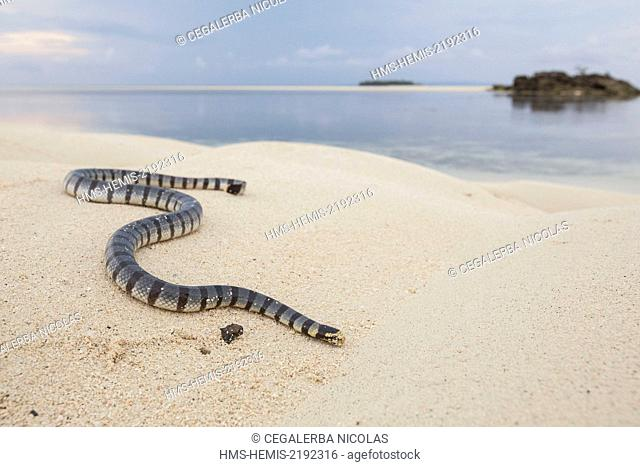 Indonesia, Maluku province, East Seram, Grogos island, Banded sea krait or yellow-lipped sea krait (Laticauda colubrina) on the beach