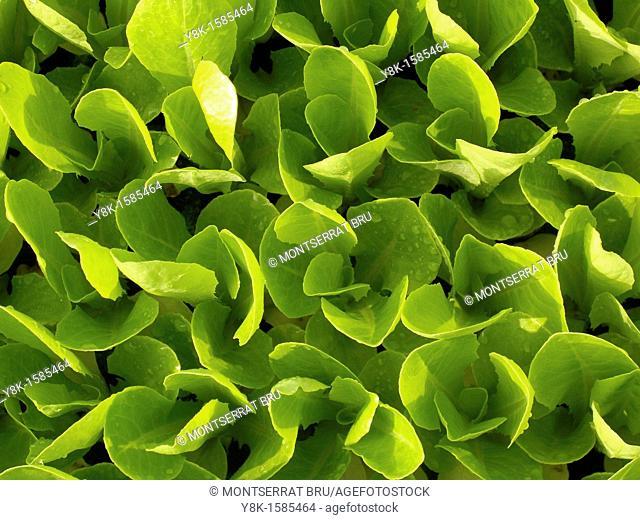 Lettuce nursery closeup