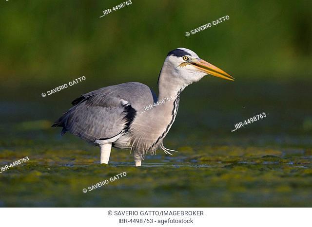 Grey Heron (Ardea cinerea), adult with a swallowed frog in neck, Campania, Italy