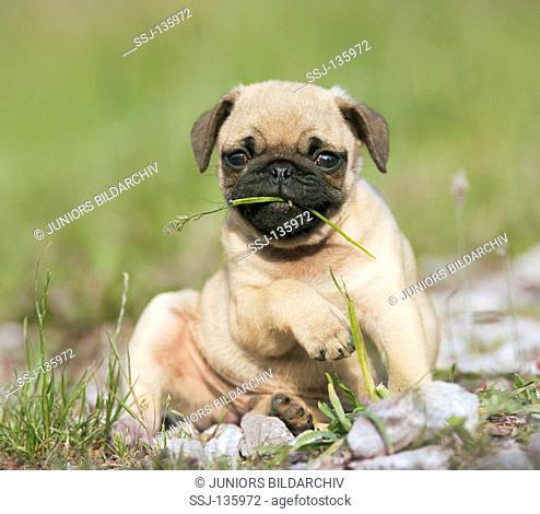 pug puppy - sitting on meadow restrictions: Tierratgeber-Bücher / animal guidebooks