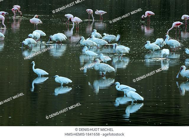 Kenya, lake Magadi, lesser flamingo (Phoeniconaias minor), African Spoonbill (Platalea alba)