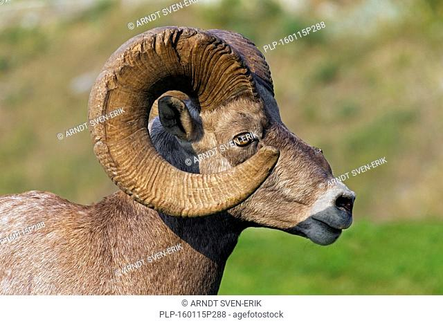 Bighorn sheep (Ovis canadensis) close up portrait of ram, Jasper National Park, Alberta, Canada