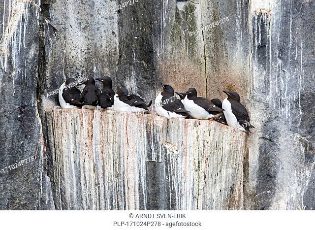 Thick-billed murres / Brünnich's guillemots (Uria lomvia) on rock ledge in sea cliff in seabird colony, Alkefjellet, Hinlopenstreet, Svalbard, Norway