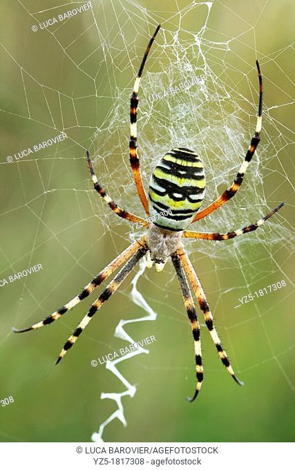 Argiope bruennichi - Wasp spider