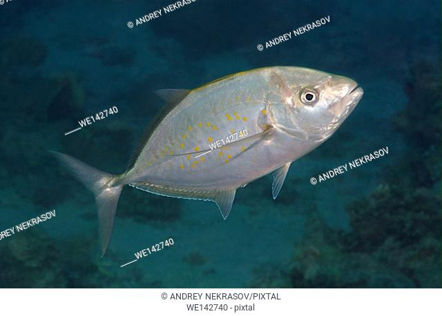 Yellowspotted trevally, Yellowspotted jack, Dark gold-spotted trevally, yellowspotted kingfish, goldspotted trevally, Yellowjack or tarrum (Carangoides...