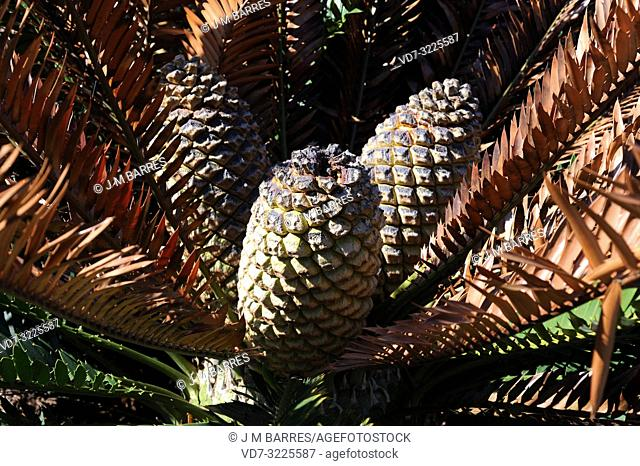 Lebombo cycad (Encephalartos lebomboensis) is a gymnosperm native to Lebombo Mountains in South Africa. Female cones detail