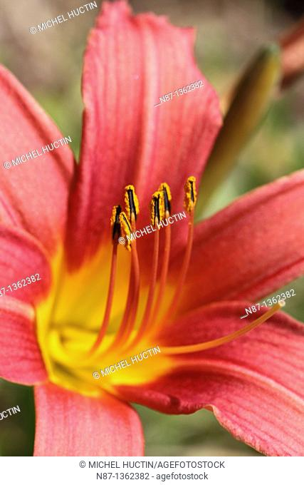 The daylilies or day lilies is an annual plant deciduous, After a bulb Family: Liliaceae from Asia