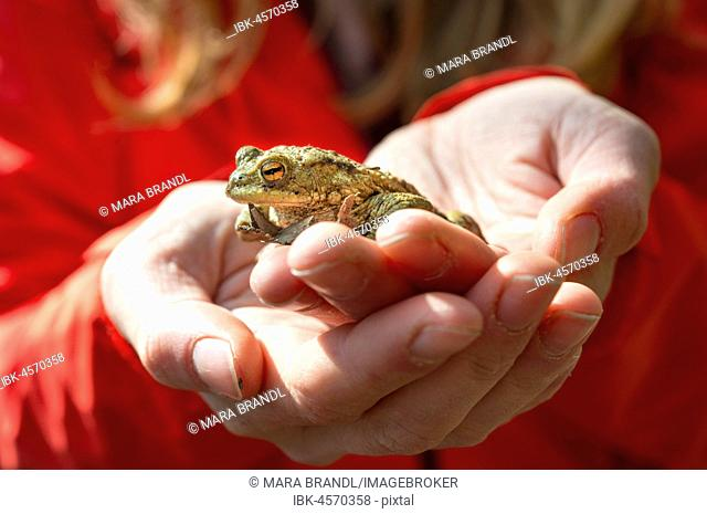 Common toad (Bufo bufo) sits on hand, Stallauer Weiher, Upper Bavaria, Bavaria, Germany