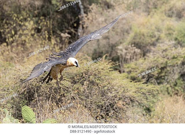 Africa, Ethiopia, Rift Valley, Debre Libanos, Bearded vulture (Gypaetus barbatus), in flight
