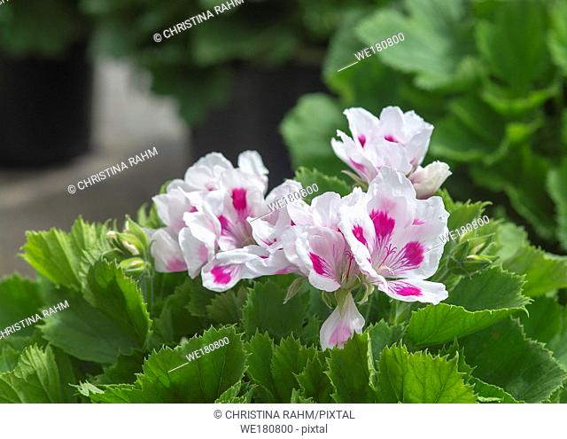 White geranium flowers with pink spots and green leaves closeup macro photo