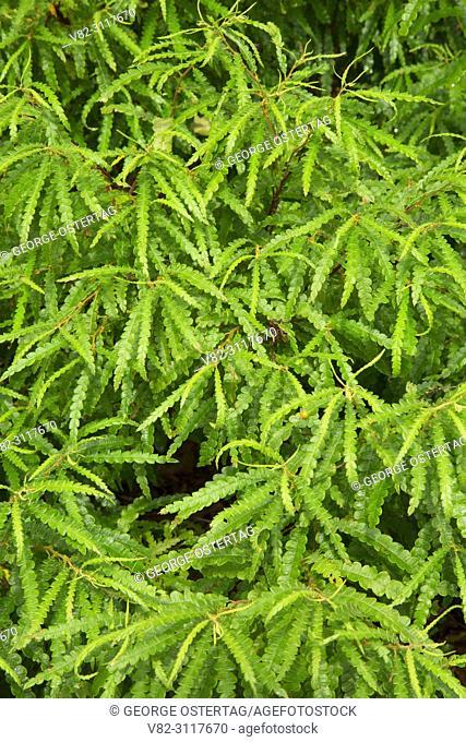 Sweet fern along Zoar Trail, Paugussett State Forest, Connecticut