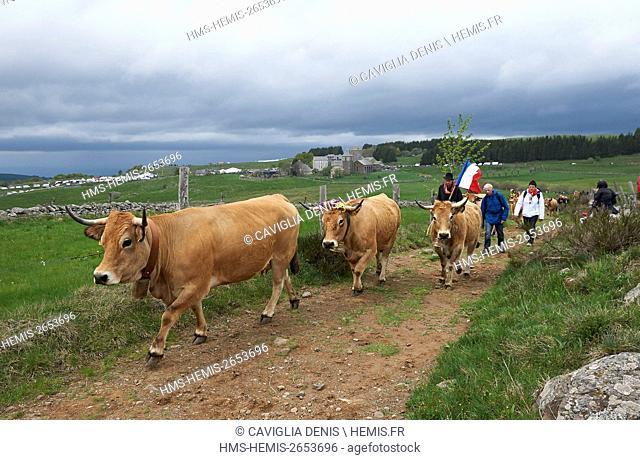 France, Aveyron, Aubrac, 2016, the Aubrac race caws in transhumance, Bonnal farming