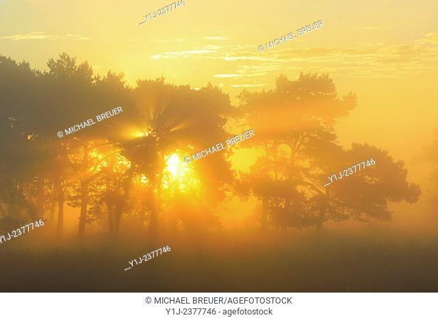 Pine tree on misty morning at sunrise, Fischland-Darss-Zingst, Mecklenburg-Western Pomerania, Germany, Europe