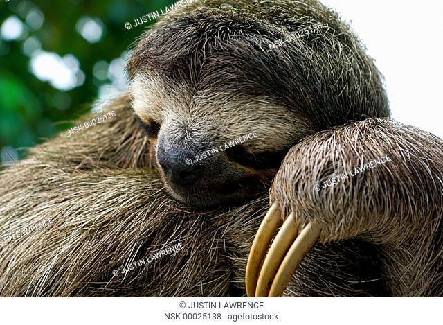 Brown-Throated Three Toed Sloth (Bradypus variegatus) sleeping during the day, Panama