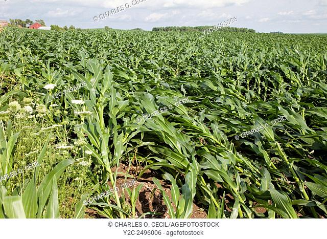 Crop damage. Corn fields showing extensive wind damage. Eastern Iowa, near Dyersville, USA