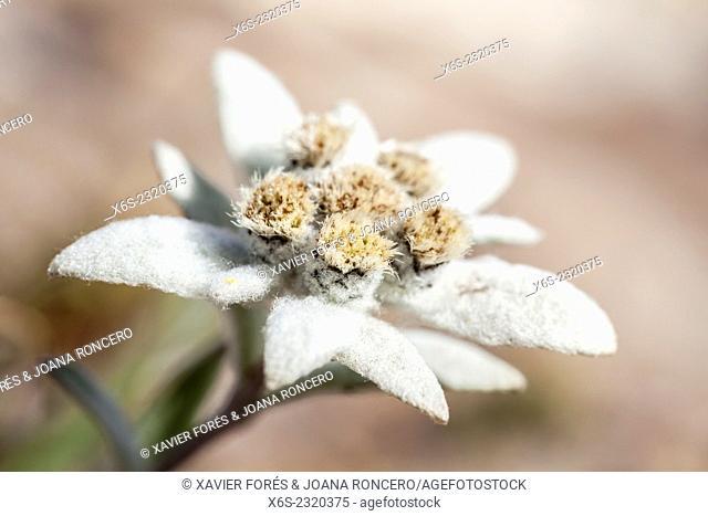 Edelweiss - Leontopodium alpinum -, National Park of La Vanoise, Savoie, Rhône-Alpes, France
