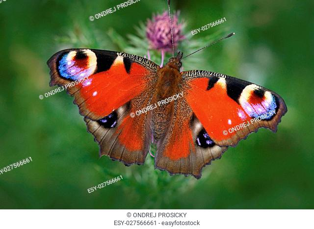 European Peacock, Aglais io, red butterfly with eyes sitting on