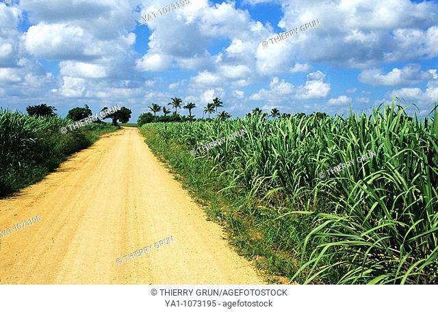Sugar cane field  La Altagracia province, Dominican republic, Caribbean