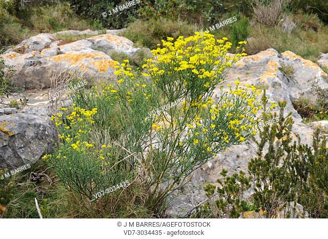 Coronilla juncea is a shrub native to western Mediterranean Region. This photo was taken in Cabo San Antonio, Alicante province, Comunidad Valenciana, Spain
