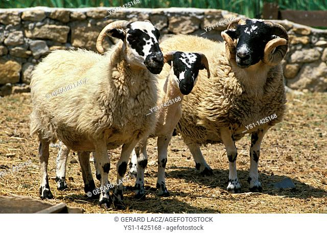 SCOTTISH BLACK FACE SHEEP, RAM WITH EWE AND YOUNG