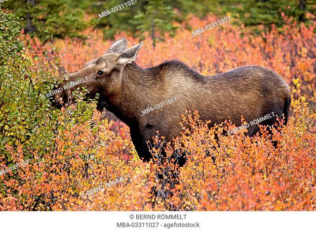 North America, the USA, Alaska, Denali national park, elk, elk's cow, Alces alces