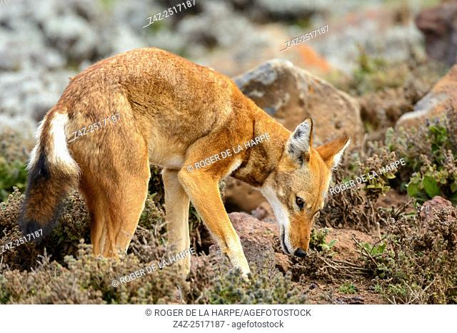 Ethiopian wolf (Canis simensis) also know as Abyssinian wolf, Simien wolf, Simien jackal, Ethiopian jackal, red fox, red jackal