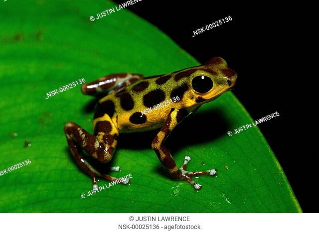 Isla Colon morph Strawberry Poison Frog (Oophaga pumilio) resting on a leaf, Panama