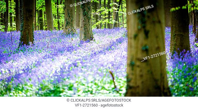 Hallerbos, beech forest in Belgium full of blue bells flowers
