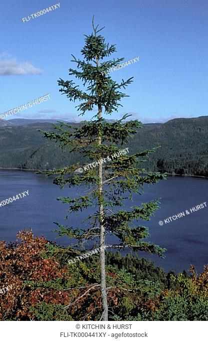 Boreal Forest with balsam fir & rare red maples  Autumn  Canada  Gros Morne National Park, Newfoundland