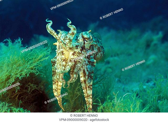SEPIA OFFICINALISCOMMON CUTTLEFISHMEDITERRANEAN SEA