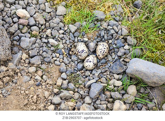 An Oystercatcher nest onthe edge of a rural gravel road in Iceland