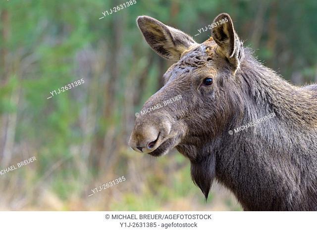 Moose, Elk, Alces alces, Europe