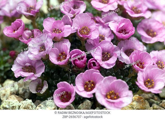 Saxifraga 'Tysoe Pink'