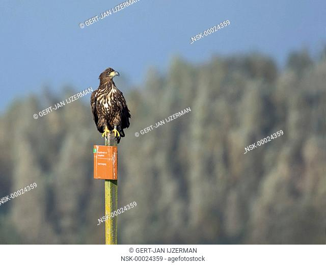 White-tailed Eagle (Haliaeetus albicilla) perched on a prohibition sign, The Netherlands, Overijssel, Ketelmeer