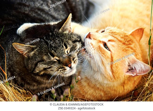 Close up of two cats lying in the grass and cuddling