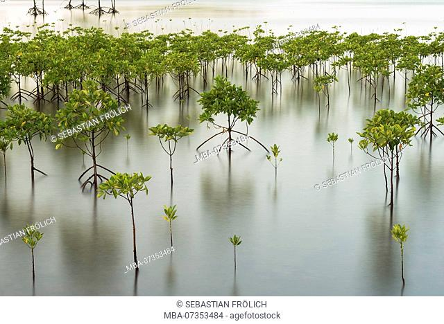 Young mangrove forest at sunset on Pulau Weh