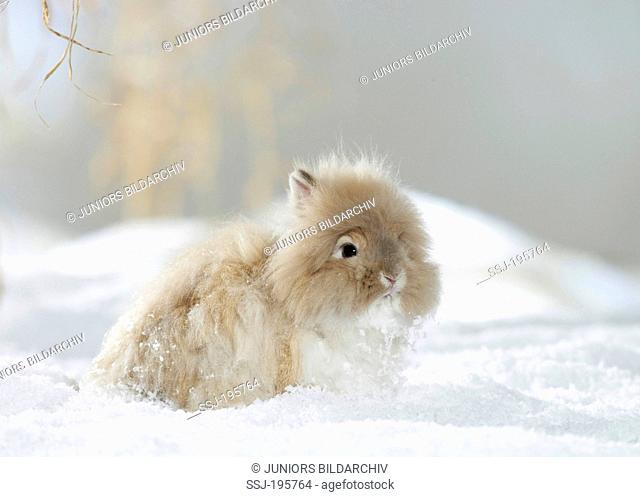 Dwarf Angora Rabbit in snow