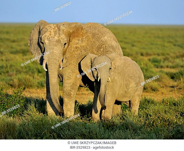 African Bush Elephants (Loxodonta africana), cow with calf in the morning lightt