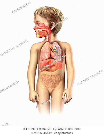 Child anatomy full respiratory system cutaway. Including mouth and nasal cross section. Other organs in half tone. On white background with clipping path