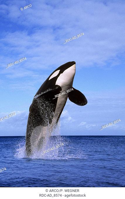 Killerwhale Orcinus orca