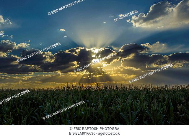 Sunset in dramatic sky over crop field