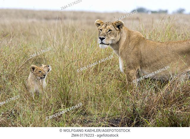 A lioness (Panthera leo) with two cubs in the high grass in the Masai Mara National Reserve in Kenya