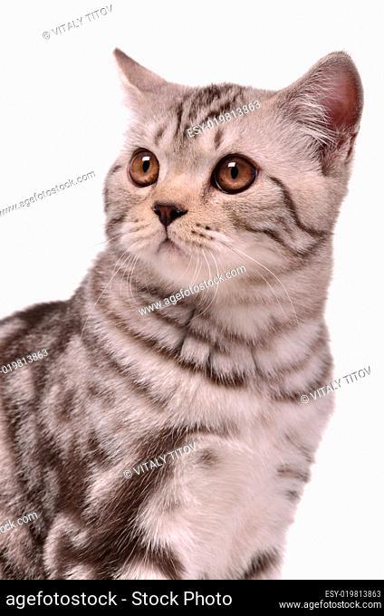Scottish fold kitten portrait