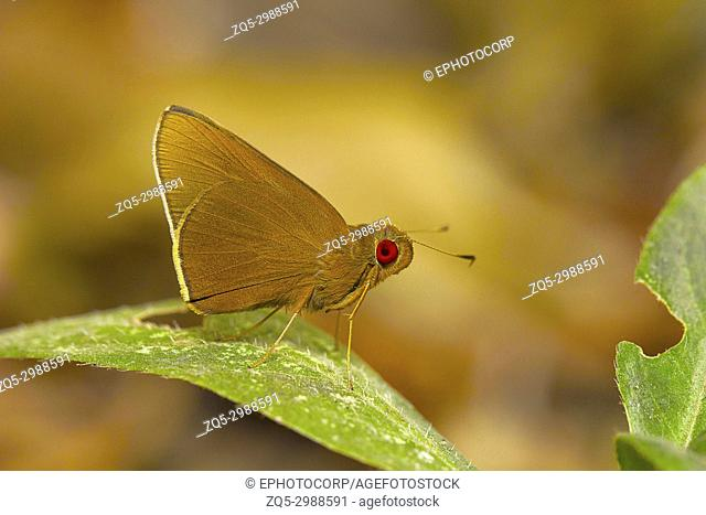 Common Red Eye Butterfly, Matapa aria, Uncommon. Bhavans college, Andheri west, Mumbai, Maharashtra, India. Habitat:- Prefers bamboo forest