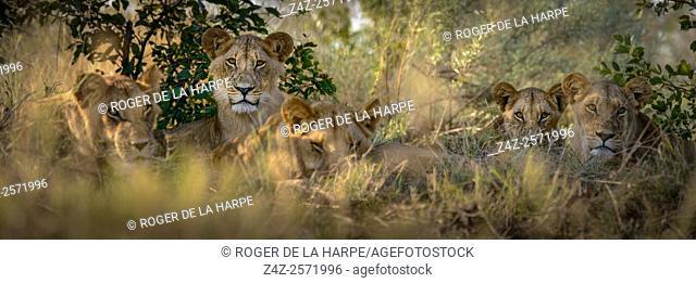 Lion (Panthera leo) pride. Okavango Delta. Botswana