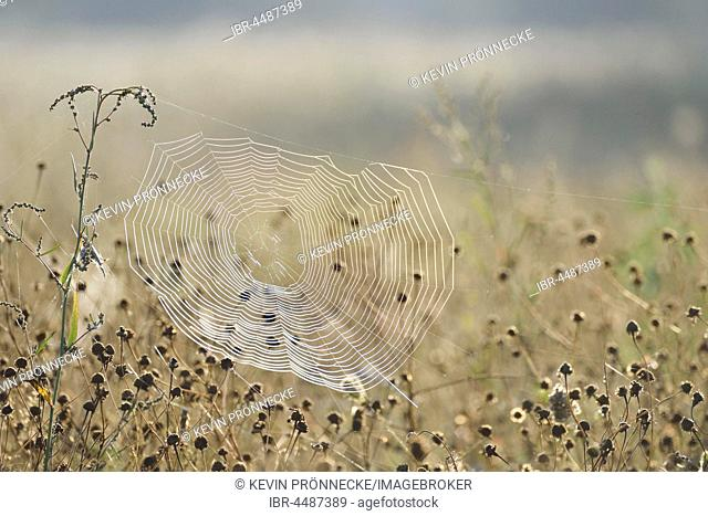 Spider web in a meadow, Middle Elbe Biosphere Reserve, Saxony-Anhalt, Germany